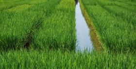 Tecnica di coltivazione del riso per sommersione continua