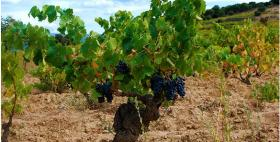 Pianta di Vitis vinifera L. della cultivar Cannonau coltivato ad alberello_Modello tradizionale di coltivazione del Cannonau