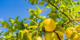 Limoni di Pompia