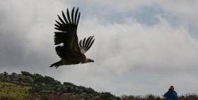 Liberazione dei grifoni_Progetto Life Unider Griffon Wings, Università di Sassari