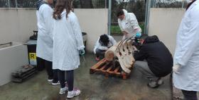 Ricostruzione dello scheletro della balena al dipartimento di Medicina Veterinaria di fronte alle telecamere di Presa Diretta